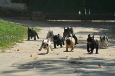 """""""Running of the bulls"""" a FB post by (I love my dogs)"""