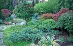 creating spring color with japanese maples and conifers in my garden, gardening