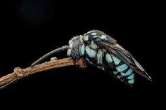 波琉璃紋花蜂 Thyreus decorus (Smith, 1852) | by hellomumu / Taiwan