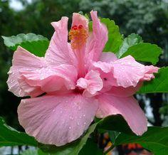 Avispa doble from Nicaragua  Hibiscos rosa sinensis    Hisbiscus flower