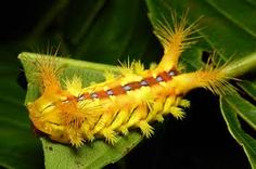 Slug Caterpillar (Cup Moth, Setora sp., LImacodidae)
