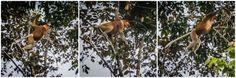 Proboscis Monkey Sukau Kinabatangan River Borneo  #jungle #proboscismonkey #kinabatanganriver #borneo #adventure #travel