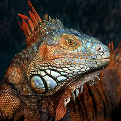 ~~ Prehistoric Beauty ~~ - iguana by Ann Van Breemen~~ All Gods Creatures, Sea Creatures, Reptiles And Amphibians, Mammals, Beautiful Creatures, Animals Beautiful, Iguana Verde, Animals And Pets, Cute Animals