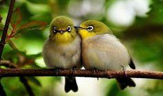 O silvereye ou o OLHO-DE-CERA (Zosterops lateralis) são um pássaro passerine onívoro muito pequeno do Oceano Pacífico sudoeste.