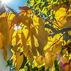 Fall - yellow leaves #fall #herbst #autumn #wenns #pitztal #sun #sonne #blätter #leaves #farbigeblätter #theskyisthelimit  #niceview #niceshot #pictureoftheday #sonnenstrahlen Videos, Instagram, Pictures, Sun Rays, Fall