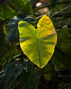 One of the major issues with growing elephant ears is that the leaves of the plant start to turn yellow. In this post, we will discuss what are the main reasons behind this and what you can do to resolve the issue. Why My Elephant Ears Leaves Are Turning Yellow... Growing Veggies, Elephant Ears, What You Can Do, Turning, Plant Leaves, Yellow, Plants, Plant, Wood Turning