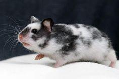 Spy hamster