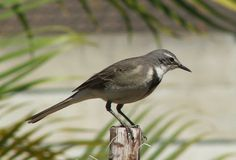 Motacilla capensis - Cape Wagtail -- Sighted: 5/26/2015 Capetown, ZA; Robben Island; etc. Life List, Birds Of Prey, Cape, Africa, Nests, Friends, Nature, Animals, Island