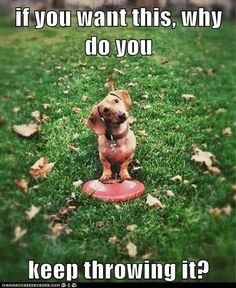 I simply thought you wanted me to! #dogs #pets #Dachshunds Facebook.com/sodoggonefunny