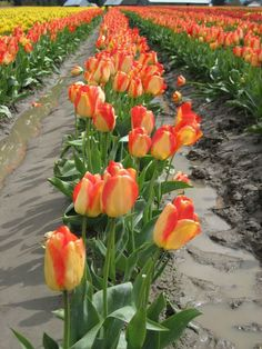Skagit Valley Tulips - wouldn't this be lovely for your garden