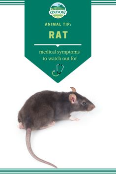 Many rat health problems are related to nutrition and digestive issues, dental issues or obesity. Contact your veterinarian if you notice the following symptoms...