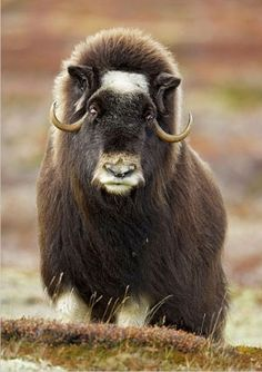 musk ox - Very handsome, show quality Wild Creatures, All Gods Creatures, Bison, Large Animals, Cute Animals, Beautiful Creatures, Animals Beautiful, Musk Ox, Mundo Animal