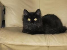 Alex foster needed is an adoptable Domestic Long Hair-Black Cat in Arlington, VA.