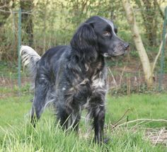 Blue Picardy Spaniel. Absolutely gorgeous French breed.