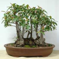 Australian Native Plants as Bonsai