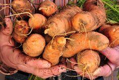 uskladnenie zeleniny na zimu