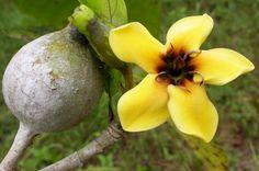 fruits of Brazil - jenipapo