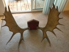 Moose Antlers. Incredible- would love to snatch these up! Have had a passion for antlers for years now.