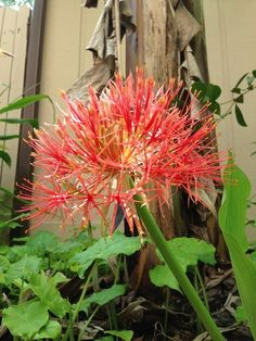 Blood lily is perfect for those who think they've seen it all. Just when you least expect it, June to be exact, you'll notice grapefruit-size fireworks going off in your garden when the blooms emerge on leafless stalks. The effect is magical.   Rain lilies have a similar effect and bloom sporadically throughout the year with trumpet-shape flowers ranging from white to yellow and pink.  Caladiums are quite popular for their harlequin patterns of veins, dapples and spots in pink, green, red.