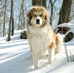 great pyrenees bernese mountain dog mix - Google Search
