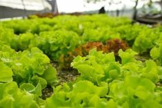 Nothing found for Palantazzunk Mikor Mit Hogyan Hydroponics, Lettuce, Herbs, Vegetables, Plants, Gardening, Ideas, Vegetable Recipes, Garten