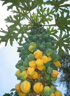 Papaya is one of the fruits that can be found in many places, ranging from the traditional market to supermarkets. Papaya is a type of fruit. Types Of Fruit, Fruit And Veg, Fresh Fruit, Fruit Plants, Fruit Trees, Trees To Plant, Beautiful Fruits, Beautiful Gardens, Papaya Tree