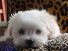This one looks just like my little maltese did as a pup and really this is pretty much what she still looks like.