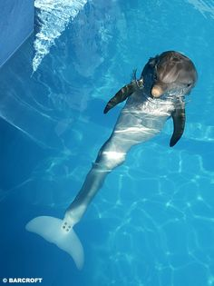 Winter from the movie Dolphin Tale at the Clearwater Marine Aquarium Florida