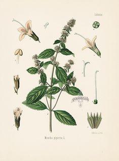 Peppermint, Mentha piperita from Antique Herbal Prints of Nutmeg, Sassafras, Pepper, Cinnamon, Mint, Thyme by Kohler 1898