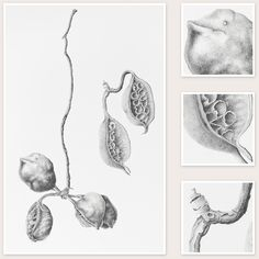 Sharon Field Botanical Artist - Brachychiton populneus (Kurrajong Pods)