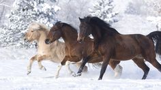 Three Beautiful Horses Of Different Colors Running In Snow