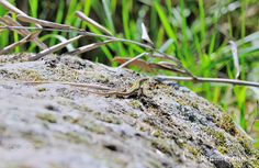 Small Lizard 2 - Taken in Fiesole, (Florence,Tuscany, Italy). (April 2018)
