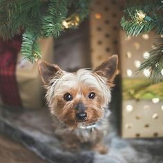 Wouldn't you LOVE to find her under your tree?  #furfriday SPOKES ANIMAL ALERT! So much love to our friends @the.ninja.dog for being our Spokes dogs for 2016! It has been so amazing to watch your rescue adventures. We are currently  looking for our 2017 Spokes animals (we love all kinds!) It's a pretty simple job furry friends...we share each others photos do giveaways for our animal loving friends your human mom (or dad!) gets some cruelty-free  vegan Elate for their beauty bag and we send…