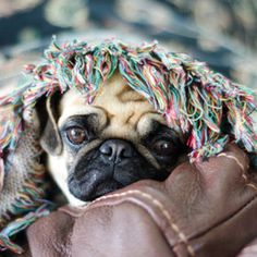 Under Cover Pug