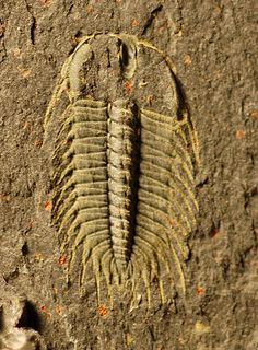 Name: Oryctocephalus indicus  (Reed, 1910) Trilobites Order Corynexochida, Suborder Corynexochina, Superfamily Corynexochoidea, Family Oryctocephalidae  Locality: Lincoln Co., Nevada  Stratigraphy: left: undescribed unit equivalent with the Emigrant Formation.   right: Emigrant Formation, Middle Cambrian