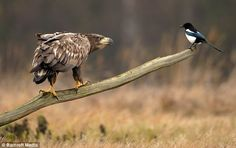 Food fight: The moment a magpie merrily tries to steal a sea eagle's lunch from under its nose
