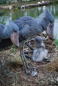 Shoebill stork parents with day old chick.