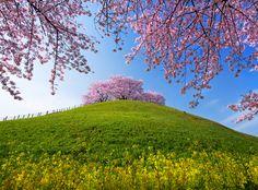 満開の古墳桜Ⅱ
