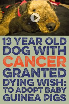 13 year old dog with cancer is granted dying wish... to adopt baby guinea pigs!! <3