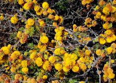 Pregon Agropecuario :: MALEZAS LEÑOSAS: CUANDO LOS ÁRBOLES INVADEN EL CAMPO - Plagas - Malezas y Plagas vegetales