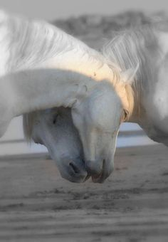 Affection, horse love, two white horses nuzzling faces together on the beach. All The Pretty Horses, Beautiful Horses, Animals Beautiful, Simply Beautiful, Horse Pictures, Animal Pictures, Animals And Pets, Cute Animals, Funny Animals