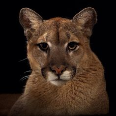 "photograph by @vincentjmusi  Cougar, Mountain Lion or Panther  They range from Canada to Chile and at one time could be found nearly all of the United States. They could make a comeback in the Midwest if humans can coexist with them.  This is my last installment here of my Big Cat portfolio. We worked closely with the Houston Zoo creating makeshift studios to photograph these animals. Some of these images appeared in a special ""Cats in Crisis"" supplement in December 2011.  I'll be offering…"