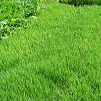 UC Verde Buffalo Grass Plugs - Calculate number of trays needed to cover yard