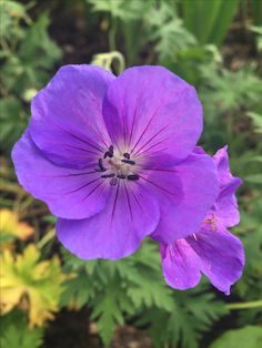 Geranium 'Orion'. A new favourite. Big flowers, but still with the translucent quality I love. Bright violet, with darker veins. Long-flowering too.