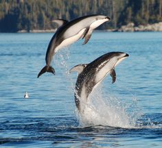 Pacific White-Sided Dolphins with Hurricane Jack Adventures near Campbell River, BC.