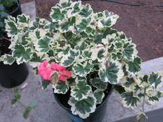 Pelargonium hortorum hybrid variegated 1-2' Garden, Plants, Garten, Lawn And Garden, Gardens, Plant, Gardening, Outdoor, Yard