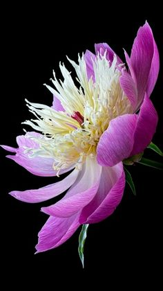Flowers - Delicate Peony - photo by Antony Scott