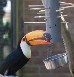 KerPlunk finds new fans in toco toucans who switch marbles for fruit Draw Straws, Toco Toucan, Budgies, Habitats, Parrot, Diy, Birds, Fruit, Animals