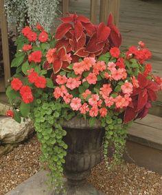 Impatiens Coleus Lysmachia Container Garden
