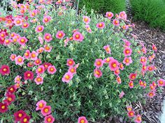 low growing - good as a ground cover in rock gardens.  Blooms late spring,  green in summer.  low water